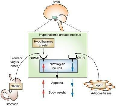 Leptin, Ghrelin, And Weight Loss. Here's What The Research Has To Say.