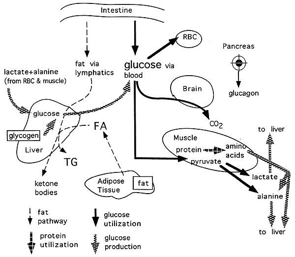 What Would Happen To Glucose Homeostasis Of The Pancreas Could No Longer Produce Glucagon