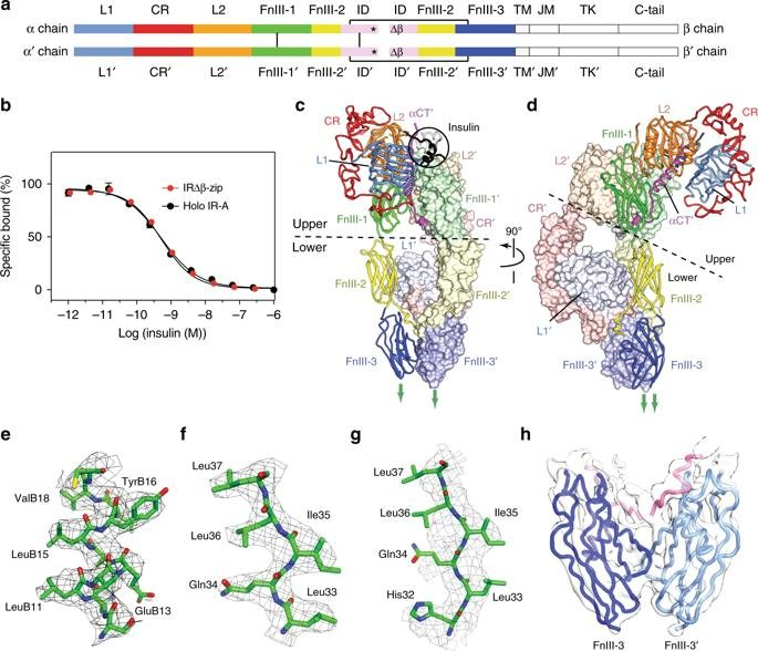 The Signalling Conformation Of The Insulin Receptor Ectodomain