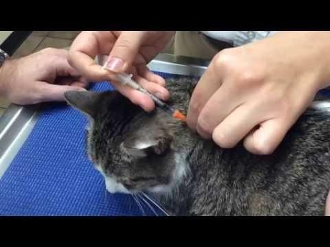 Lantus For Cats Dosage