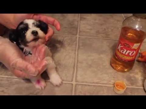 Puppy Hypoglycemia Honey