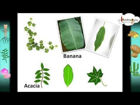 Coronopus Didymus - Brassicaceae