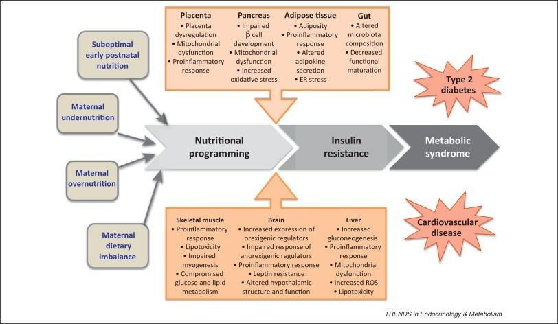 Nutritional Programming Of Insulin Resistance: Causes And Consequences