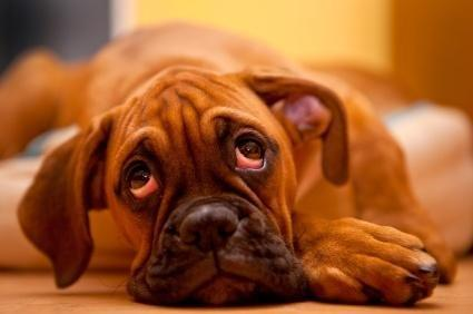 Do Dogs With Diabetes Lose Weight?