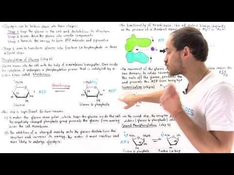 The Body Can Make Glucose From Fatty Acids. Quizlet