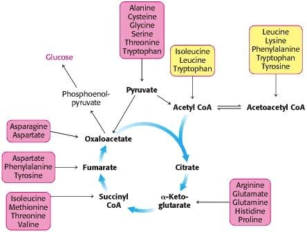 Can Oxaloacetate Be Converted To Glucose?