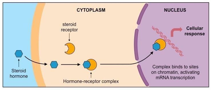 Is Insulin A Peptide Or Steroid Hormone