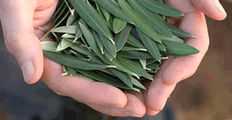 This Simple Leaf Prevents Stroke, Hypertension, Diabetes, Alzheimer's, and More