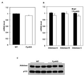 Alteration Of De Novo Glucose Production Contributes To Fasting Hypoglycaemia In Fyn Deficient Mice