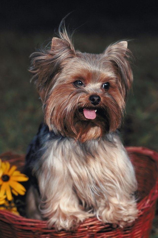 Recommended Feeding For Shorkie Puppies