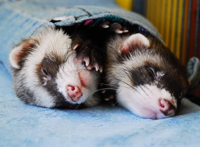 What Is Insulinoma In Ferrets?