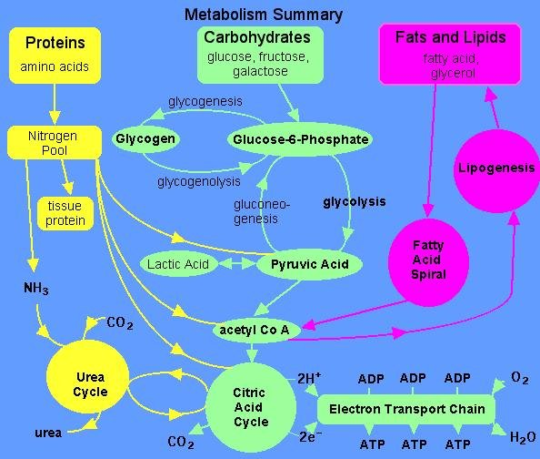 Protein Metabolism - Welcome To Bio Stud...