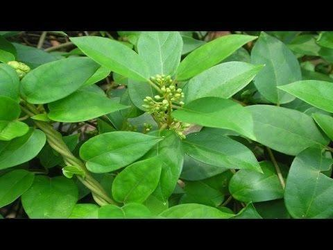 Application Of Herbs For Diabetes As A Natural Treatment