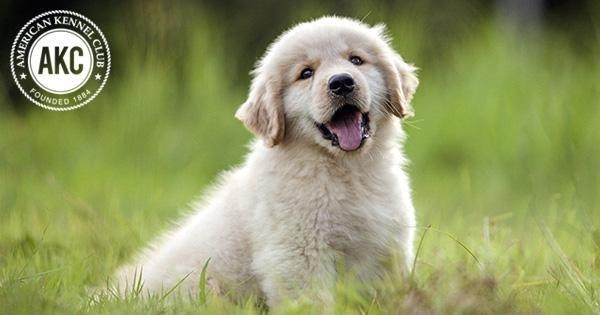 Diabetic Alert Dog For Sale