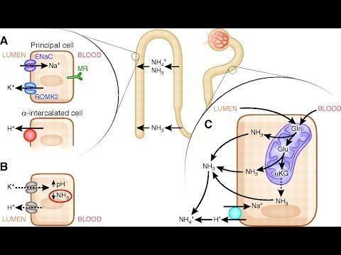 Renal Tubular Acidosis (rta)