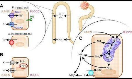 Renal Tubular Acidosis Uptodate