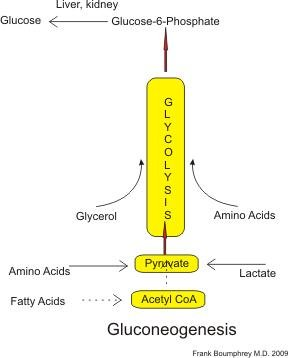 Can You Make Glucose From Amino Acids?