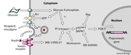 Dispatch Insulin Secretion: Feed-forward Control Of Insulin Biosynthesis?