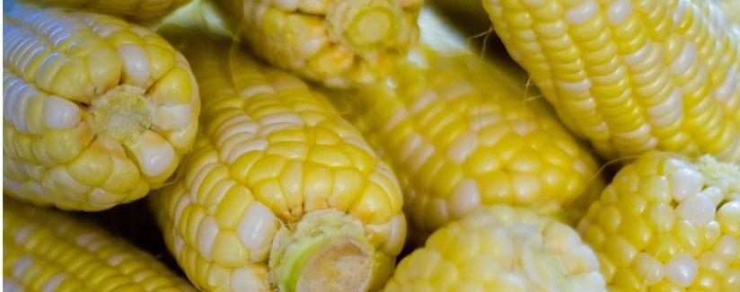 Science, Sweet Corn And Diabetes – Research In The Making