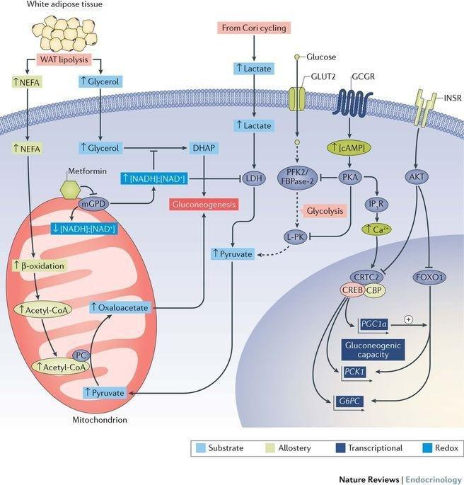 Regulation Of Hepatic Glucose Metabolism In Health And Disease