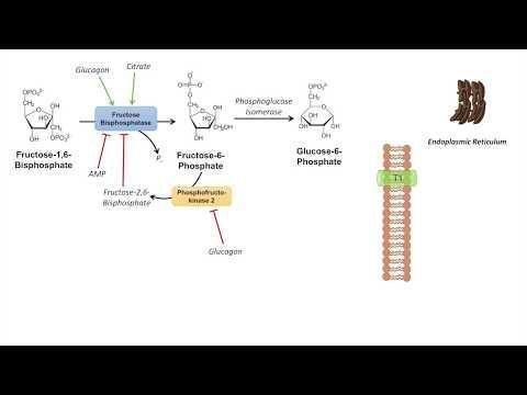 Can Amino Acids Be Converted To Glucose
