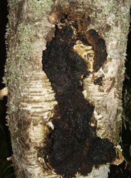 Top 12 Amazing Health Benefits Of Chaga Mushroom (with Side Effects)