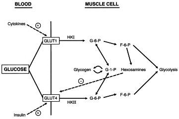 Hypothesis Insulin-independent Glucose Transport Regulates Insulin Sensitivity