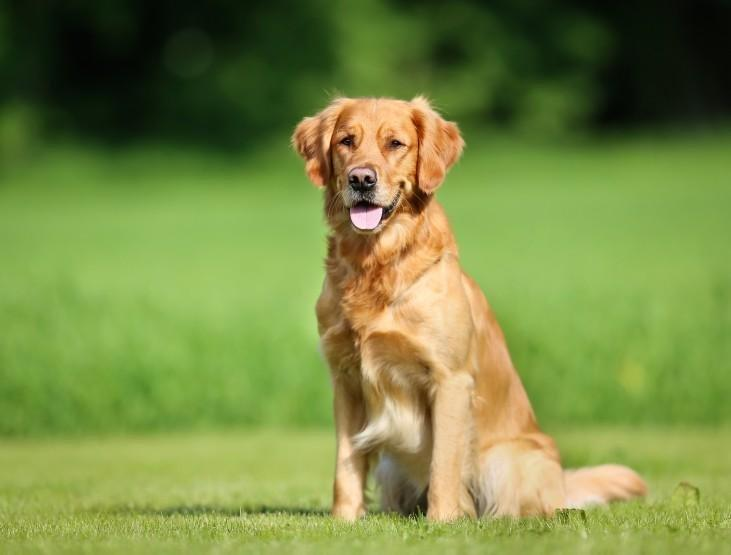 Which Dog Breeds Are Prone To Diabetes?