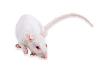 Animal Models Of Type 2 Diabetes: The Gk Rat