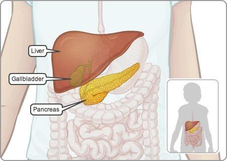 How Does The Pancreas Connect To The Rest Of The Digestive System