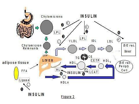 Lipid Disorders In Type 1 Diabetes