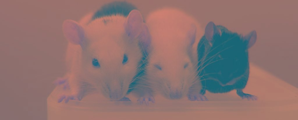 Mice Have Had Their Diabetes Reversed After Receiving Pancreatic Tissue Grown in Rats