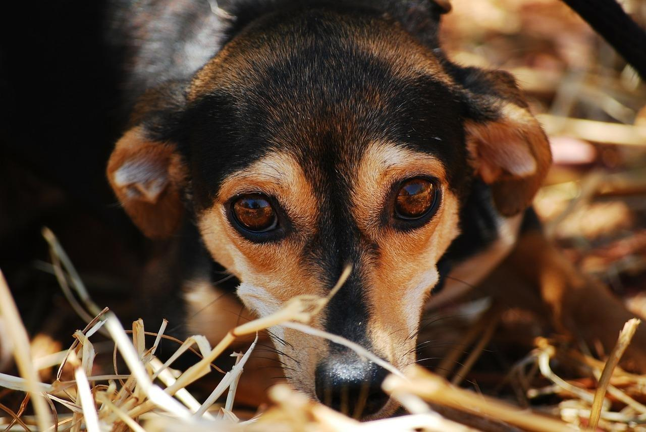 Do Dogs Get Diabetes?