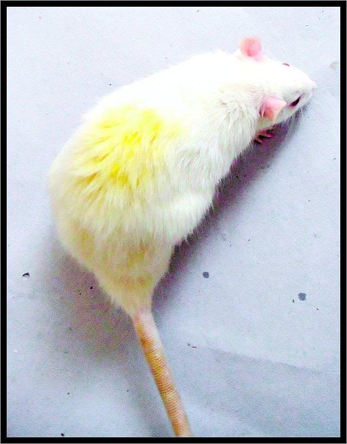Rat Model To Study Metabolic Syndrome