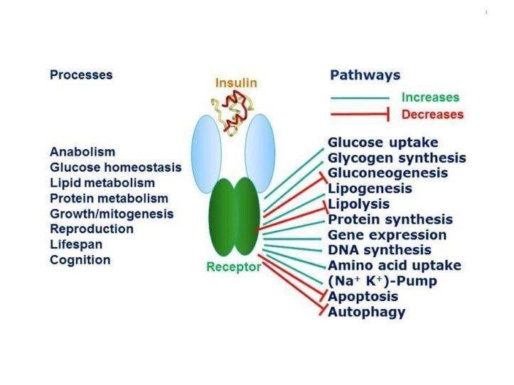 What Is Insulin Receptor
