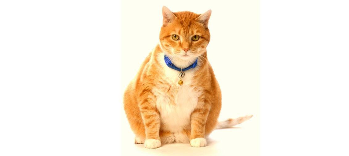 What To Expect When Your Cat Goes Into Diabetic Remission