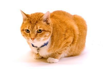 Feline Diabetes Mellitus: Keys To Remission