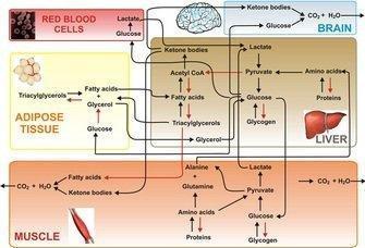Dynamic Adaptation Of Nutrient Utilization In Humans