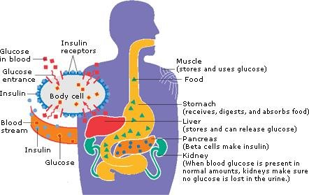What Is Insulin And What Does It Do?
