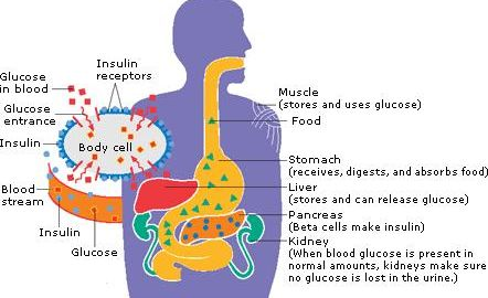 Where Does Insulin Work In The Body?