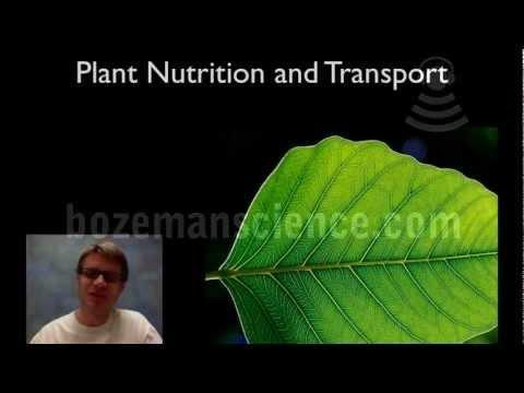 What Is The Function Of Glucose In The Plant?