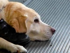 Diabetes Alert Dogs: How Do They Do It?