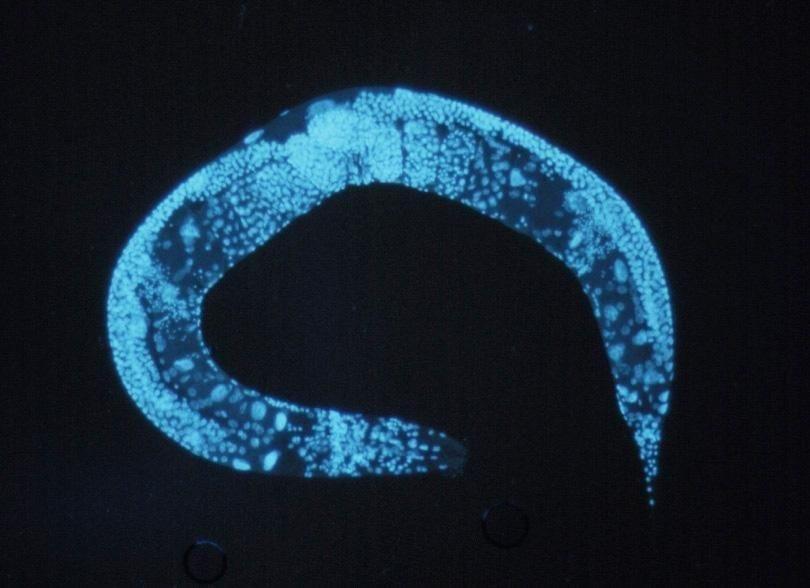 Does Metformin Cause Worms