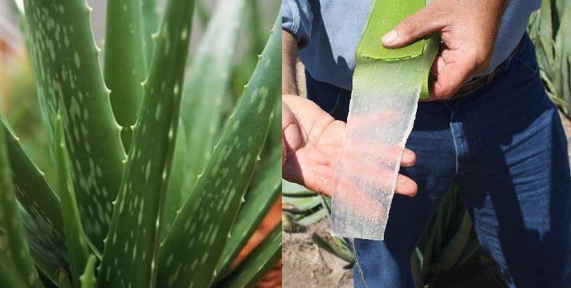 Cmo Usar Aloe Vera Para Tratar La Diabetes