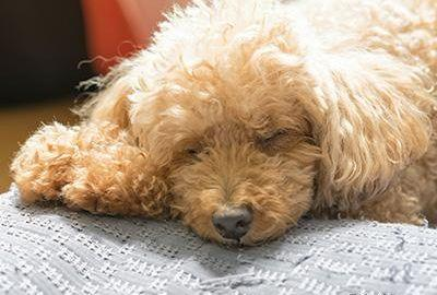 What Are The Symptoms Of Low Blood Sugar In Dogs?