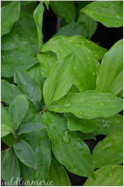 How To Use Insulin Plant Leaves