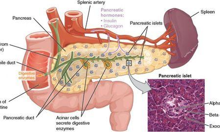 Where Insulin And Glucagon Are Produced