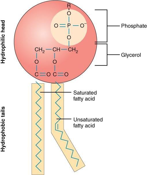 16 3.1 The Cell Membrane