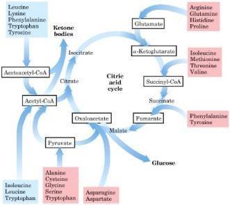 What Is Ketogenesis?