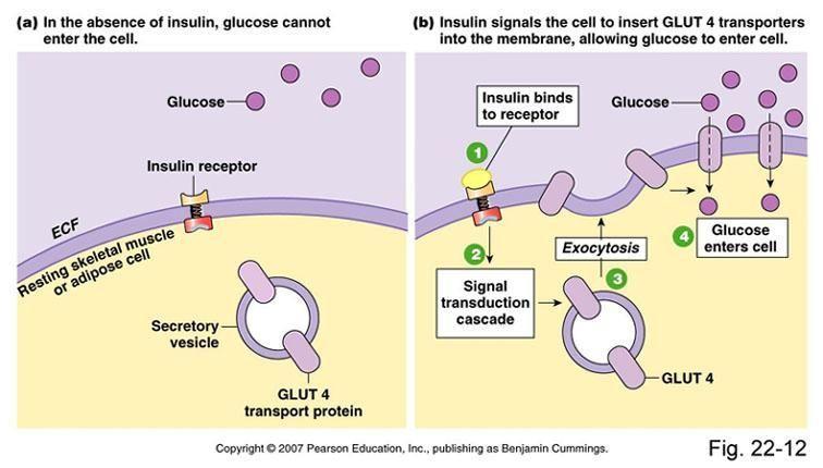 High Fat Diet Insulin Resistance Mechanism